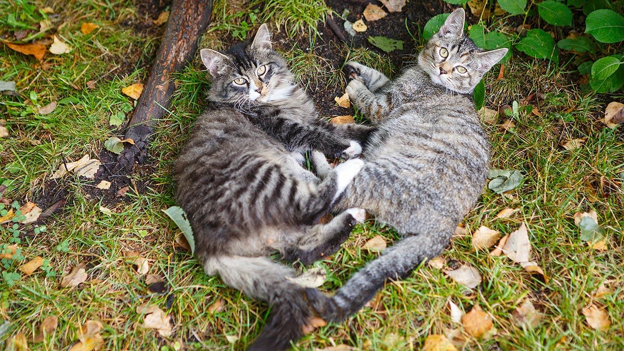 Cómo es la Reproduccion de los Gatos