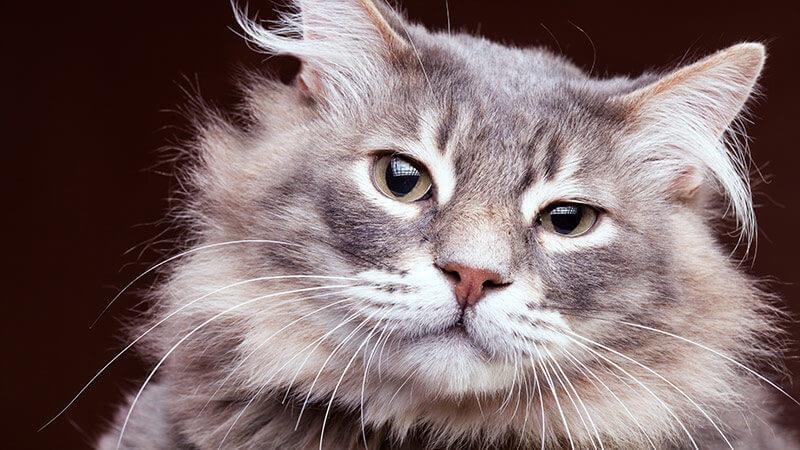 Gato Adulto Castrado
