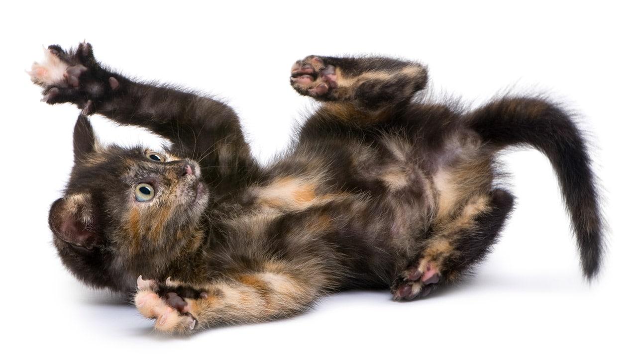 Gato Carey