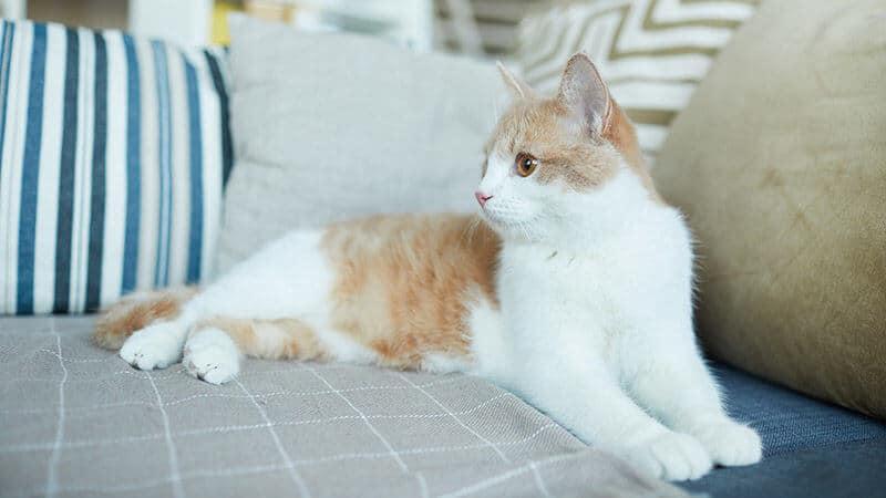 Gato Domestico en Casa