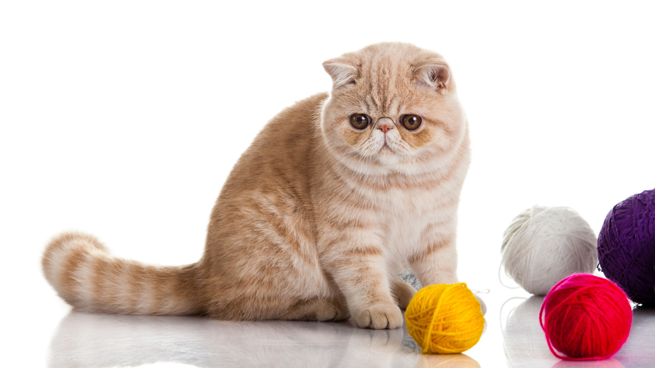 Gato Exotico Naranja