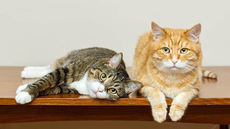 Informacion de Gatos Domesticos