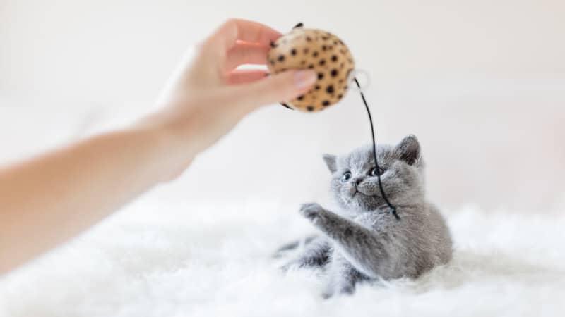 Accesorios para Gatos Domésticos