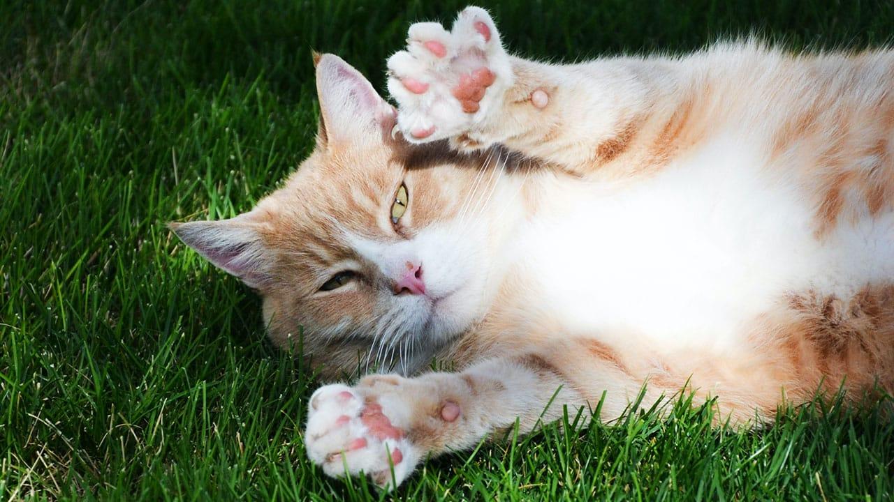 Almohadillas Gatos